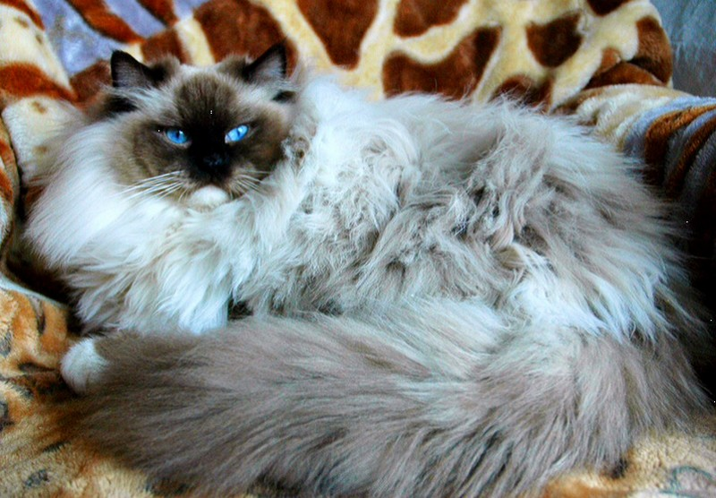 Fully grown male ragdoll cat